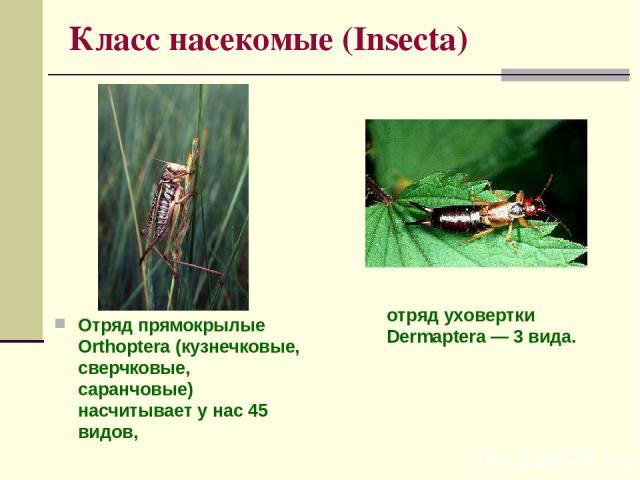 Класс насекомые (Insecta) Отряд прямокрылые Orthoptera (кузнечковые, сверчковые, саранчовые) насчитывает у нас 45 видов, отряд уховертки Dermaptera — 3 вида.