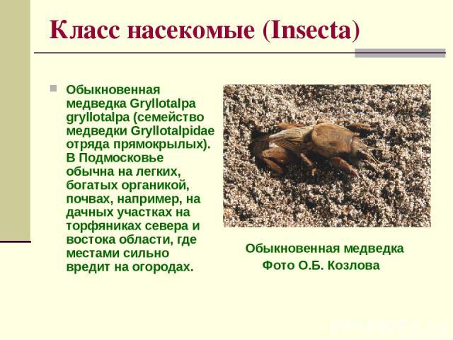 Класс насекомые (Insecta) Обыкновенная медведка Gryllotalpa gryllotalpa (семейство медведки Gryllotalpidae отряда прямокрылых). В Подмосковье обычна на легких, богатых органикой, почвах, например, на дачных участках на торфяниках севера и востока об…