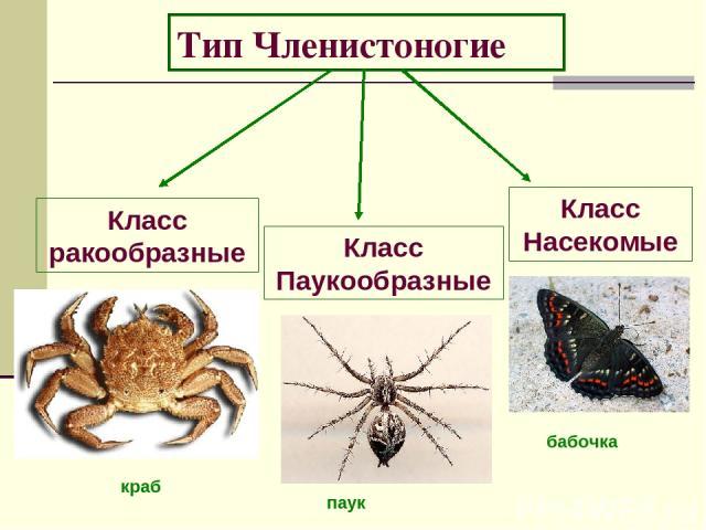 Тип Членистоногие Класс ракообразные Класс Паукообразные Класс Насекомые бабочка паук краб