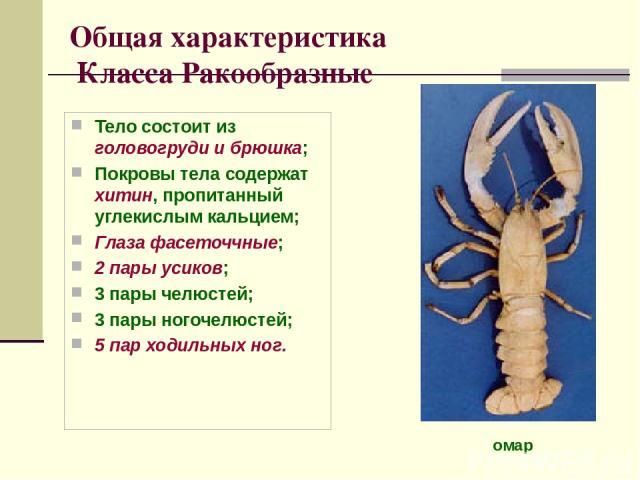 Общая характеристика Класса Ракообразные Тело состоит из головогруди и брюшка; Покровы тела содержат хитин, пропитанный углекислым кальцием; Глаза фасеточчные; 2 пары усиков; 3 пары челюстей; 3 пары ногочелюстей; 5 пар ходильных ног. омар