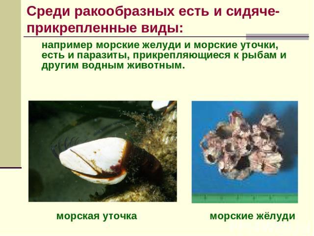 например морские желуди и морские уточки, есть и паразиты, прикрепляющиеся к рыбам и другим водным животным. морские жёлуди морская уточка Среди ракообразных есть и сидяче-прикрепленные виды: