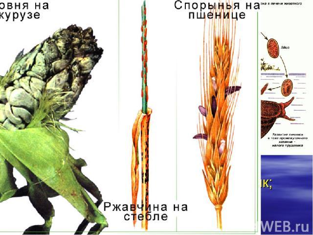 Паразитизм. Макропаразиты растут в теле хозяина, но, размножаясь, образуют особые формы, которые покидают одного хозяина, чтобы заселить другого. (Бычий цепень; печеночный сосальщик; вши; блохи; гриб – трутовик, …)