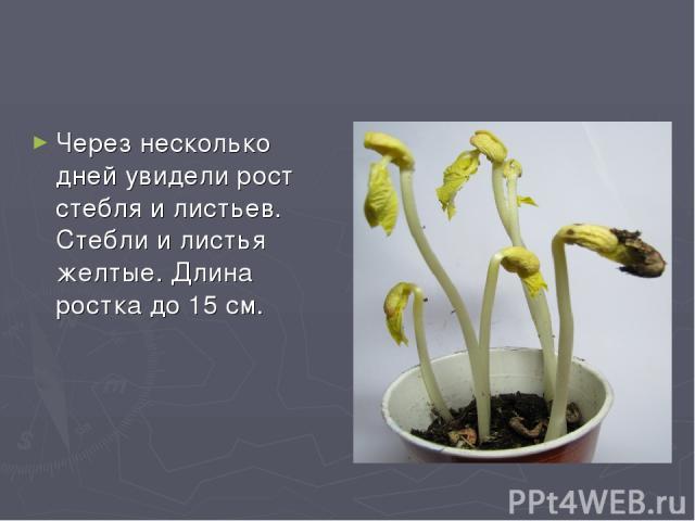 Через несколько дней увидели рост стебля и листьев. Стебли и листья желтые. Длина ростка до 15 см.
