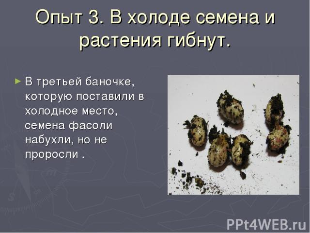 Опыт 3. В холоде семена и растения гибнут. В третьей баночке, которую поставили в холодное место, семена фасоли набухли, но не проросли .