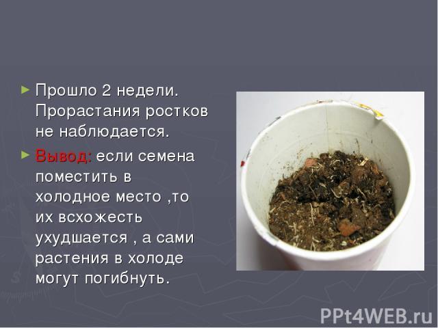 Прошло 2 недели. Прорастания ростков не наблюдается. Вывод: если семена поместить в холодное место ,то их всхожесть ухудшается , а сами растения в холоде могут погибнуть.