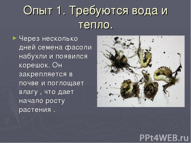 Опыт 1. Требуются вода и тепло. Через несколько дней семена фасоли набухли и появился корешок. Он закрепляется в почве и поглощает влагу , что дает начало росту растения .