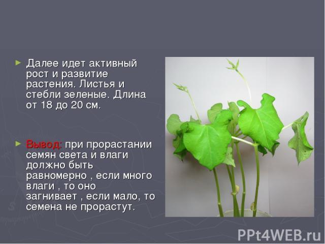 Далее идет активный рост и развитие растения. Листья и стебли зеленые. Длина от 18 до 20 см. Вывод: при прорастании семян света и влаги должно быть равномерно , если много влаги , то оно загнивает , если мало, то семена не прорастут.