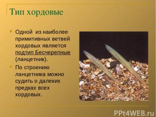 Тип хордовые Одной из наиболее примитивных ветвей хордовых является подтип Бесче