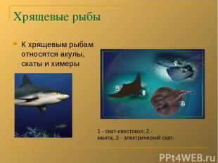 Хрящевые рыбы К хрящевым рыбам относятся акулы, скаты и химеры 1 - скат-хвостоко