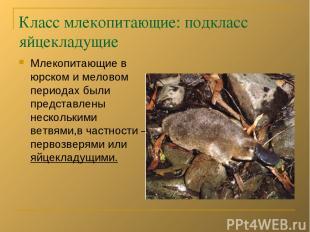 Класс млекопитающие: подкласс яйцекладущие Млекопитающие в юрском и меловом пери