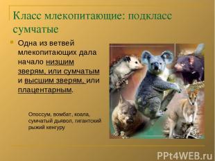 Класс млекопитающие: подкласс сумчатые Одна из ветвей млекопитающих дала начало