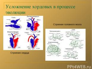 Усложнение хордовых в процессе эволюции Строение сердца Строение головного мозга