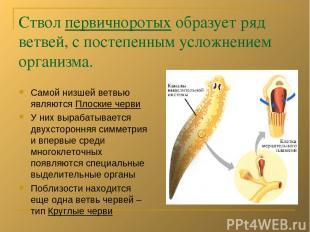 Ствол первичноротых образует ряд ветвей, с постепенным усложнением организма. Са