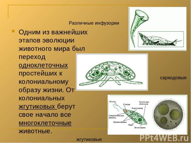 Одним из важнейших этапов эволюции животного мира был переход одноклеточных простейших к колониальному образу жизни. От колониальных жгутиковых берут свое начало все многоклеточные животные. Различные инфузории саркодовые жгутиковые