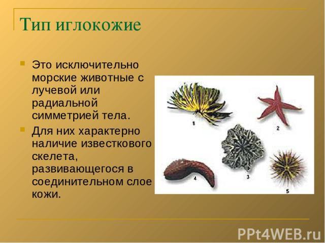 Тип иглокожие Это исключительно морские животные с лучевой или радиальной симметрией тела. Для них характерно наличие известкового скелета, развивающегося в соединительном слое кожи.