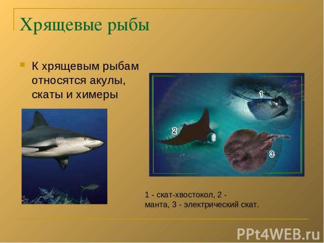 Хрящевые рыбы К хрящевым рыбам относятся акулы, скаты и химеры 1 - скат-хвостокол, 2 - манта, 3 - электрический скат.