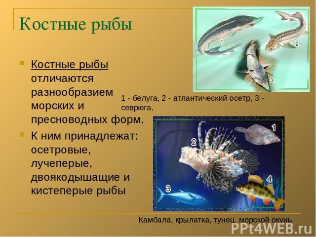Костные рыбы Костные рыбы отличаются разнообразием морских и пресноводных форм. К ним принадлежат: осетровые, лучеперые, двоякодышащие и кистеперые рыбы Камбала, крылатка, тунец, морской окунь 1 - белуга, 2 - атлантический осетр, 3 - севрюга.