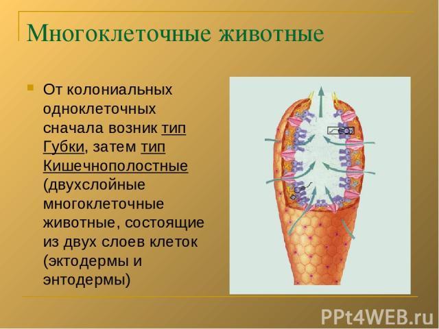 Многоклеточные животные От колониальных одноклеточных сначала возник тип Губки, затем тип Кишечнополостные (двухслойные многоклеточные животные, состоящие из двух слоев клеток (эктодермы и энтодермы)