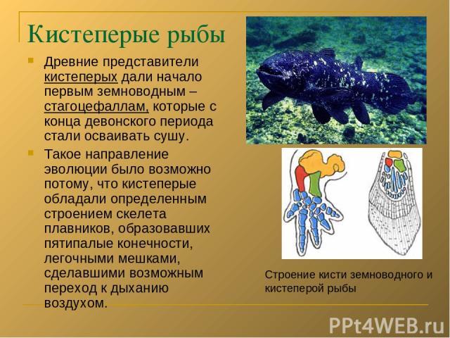 Кистеперые рыбы Древние представители кистеперых дали начало первым земноводным – стагоцефаллам, которые с конца девонского периода стали осваивать сушу. Такое направление эволюции было возможно потому, что кистеперые обладали определенным строением…