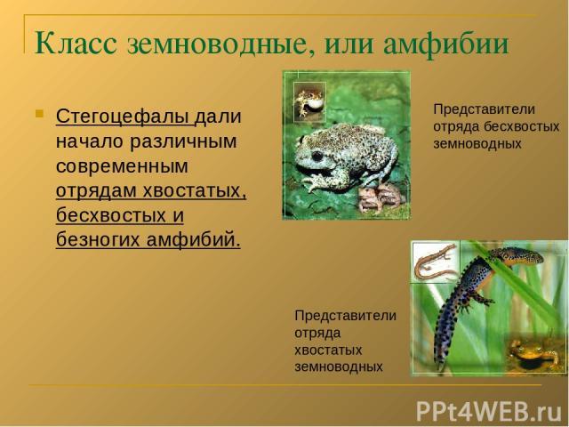 Класс земноводные, или амфибии Стегоцефалы дали начало различным современным отрядам хвостатых, бесхвостых и безногих амфибий. Представители отряда бесхвостых земноводных Представители отряда хвостатых земноводных