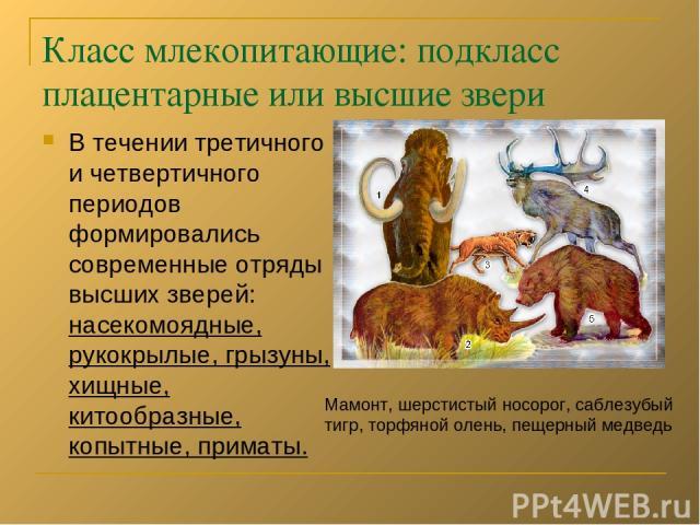 Класс млекопитающие: подкласс плацентарные или высшие звери В течении третичного и четвертичного периодов формировались современные отряды высших зверей: насекомоядные, рукокрылые, грызуны, хищные, китообразные, копытные, приматы. Мамонт, шерстистый…