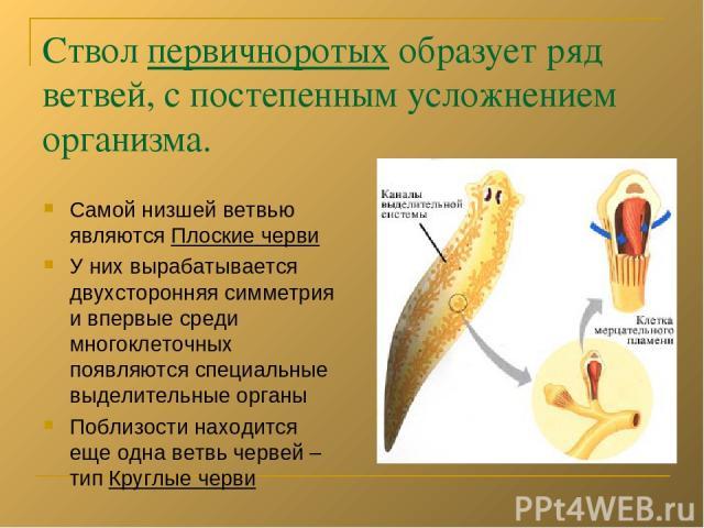 Ствол первичноротых образует ряд ветвей, с постепенным усложнением организма. Самой низшей ветвью являются Плоские черви У них вырабатывается двухсторонняя симметрия и впервые среди многоклеточных появляются специальные выделительные органы Поблизос…