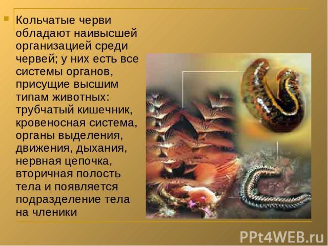 Кольчатые черви обладают наивысшей организацией среди червей; у них есть все системы органов, присущие высшим типам животных: трубчатый кишечник, кровеносная система, органы выделения, движения, дыхания, нервная цепочка, вторичная полость тела и поя…