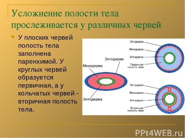 Усложнение полости тела прослеживается у различных червей У плоских червей полость тела заполнена паренхимой. У круглых червей образуется первичная, а у кольчатых червей - вторичная полость тела.