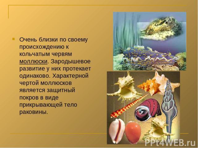 Очень близки по своему происхождению к кольчатым червям моллюски. Зародышевое развитие у них протекает одинаково. Характерной чертой моллюсков является защитный покров в виде прикрывающей тело раковины.