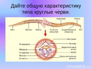 Дайте общую характеристику типа круглые черви.