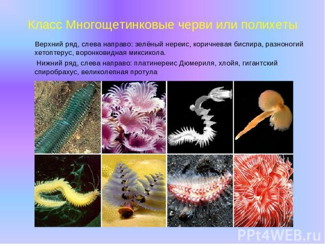 Класс Многощетинковые черви или полихеты Верхний ряд, слева направо: зелёный нереис, коричневая биспира, разноногий хетоптерус, воронковидная миксикола. Нижний ряд, слева направо: платинереис Дюмериля, хлойя, гигантский спиробрахус, великолепная протула