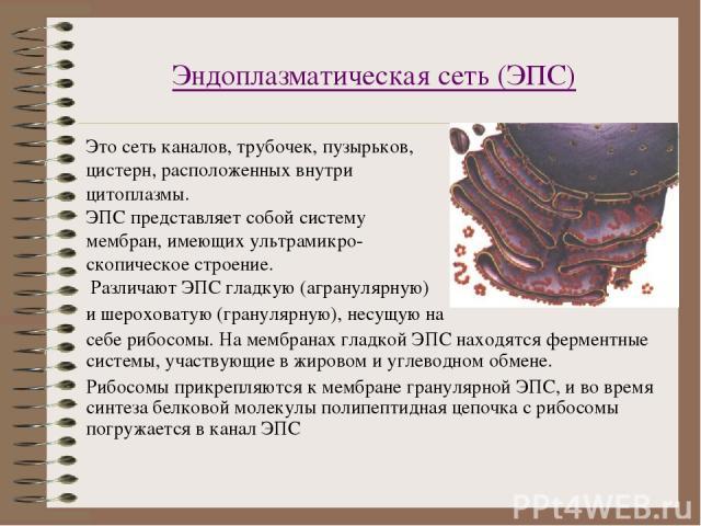 Эндоплазматическая сеть (ЭПС) Это сеть каналов, трубочек, пузырьков, цистерн, расположенных внутри цитоплазмы. ЭПС представляет собой систему мембран, имеющих ультрамикро- скопическое строение. Различают ЭПС гладкую (агранулярную) и шероховатую (гра…