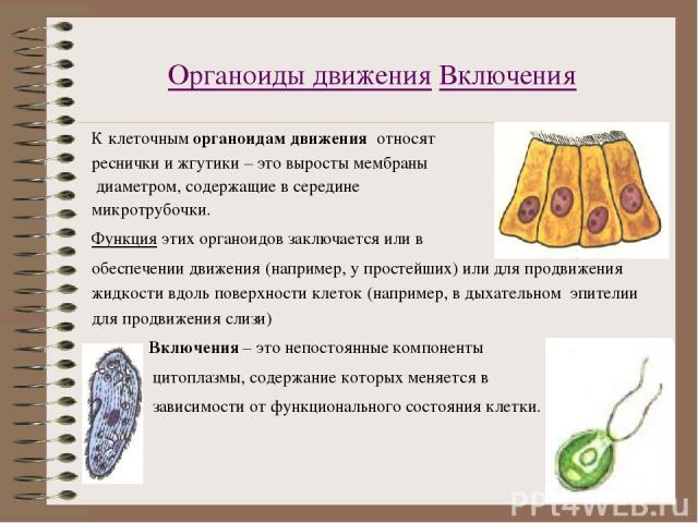 Органоиды движения Включения К клеточным органоидам движения относят реснички и жгутики – это выросты мембраны диаметром, содержащие в середине микротрубочки. Функция этих органоидов заключается или в обеспечении движения (например, у простейших) ил…