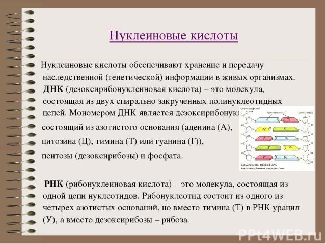 Нуклеиновые кислоты Нуклеиновые кислоты обеспечивают хранение и передачу наследственной (генетической) информации в живых организмах. ДНК (дезоксирибонуклеиновая кислота) – это молекула, состоящая из двух спирально закрученных полинуклеотидных цепей…