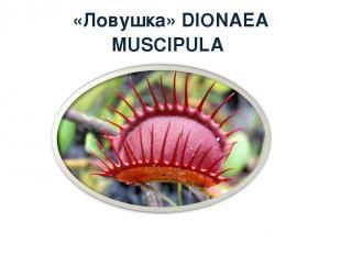 «Ловушка» DIONAEA MUSCIPULA