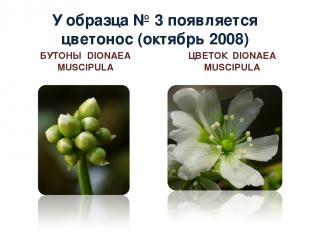 У образца № 3 появляется цветонос (октябрь 2008) БУТОНЫ DIONAEA MUSCIPULA ЦВЕТОК