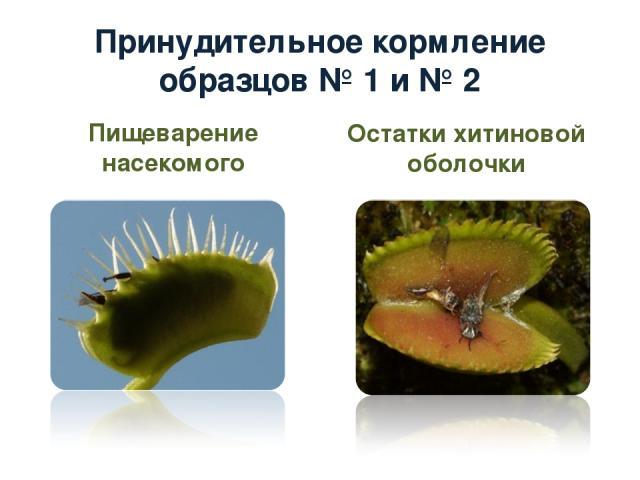 Принудительное кормление образцов № 1 и № 2 Пищеварение насекомого Остатки хитиновой оболочки