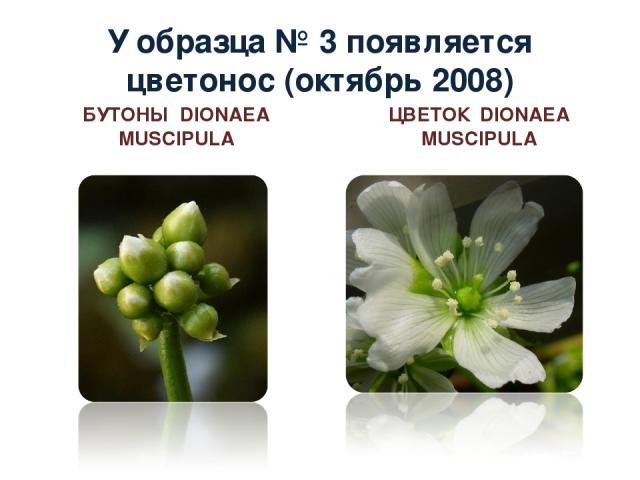 У образца № 3 появляется цветонос (октябрь 2008) БУТОНЫ DIONAEA MUSCIPULA ЦВЕТОК DIONAEA MUSCIPULA
