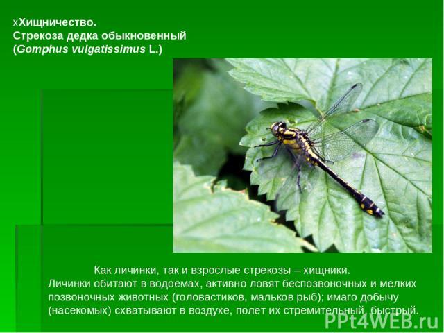 Как личинки, так и взрослые стрекозы– хищники. Личинки обитают в водоемах, активно ловят бе…