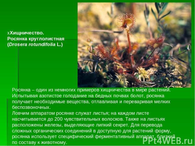 Росянка– один из немногих примеров хищничества в мире растений. Испытывая азотистое голодание на бедных почвах болот, росянка получает необходимые вещества, отлавливая и переваривая мелких беспозвоночных. Ловчим аппаратом росянке служат листья; на …