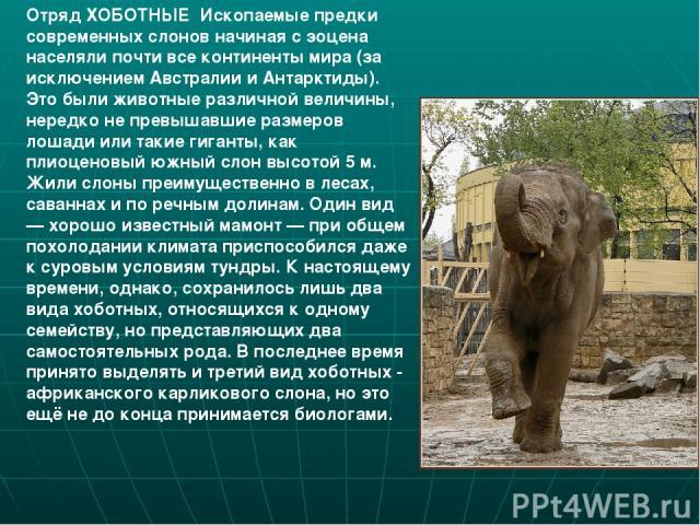 Отряд ХОБОТНЫЕ Ископаемые предки современных слонов начиная с эоцена населяли почти все континенты мира (за исключением Австралии и Антарктиды). Это были животные различной величины, нередко не превышавшие размеров лошади или такие гиганты, как плио…