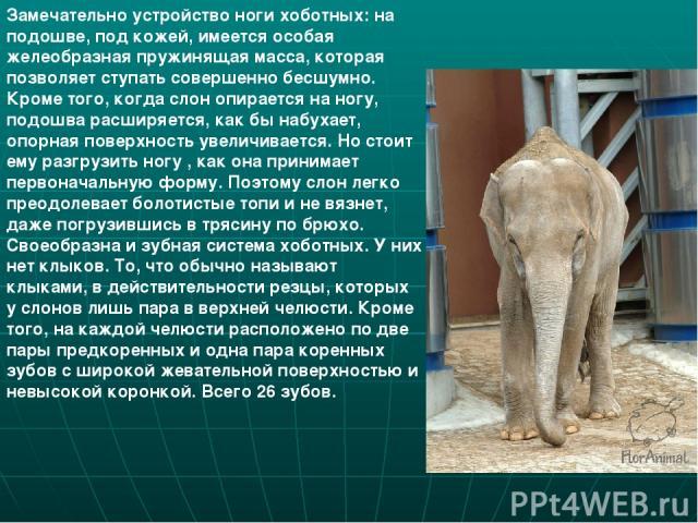 Замечательно устройство ноги хоботных: на подошве, под кожей, имеется особая желеобразная пружинящая масса, которая позволяет ступать совершенно бесшумно. Кроме того, когда слон опирается на ногу, подошва расширяется, как бы набухает, опорная поверх…