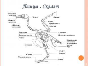 Птицы . Скелет