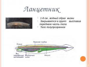 Ланцетник 1-8 см , водный образ жизни Закрывается в грунт выставив переднюю част