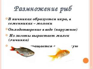 Размножение рыб В яичниках образуется икра, в семенниках – молоки Оплодотворение