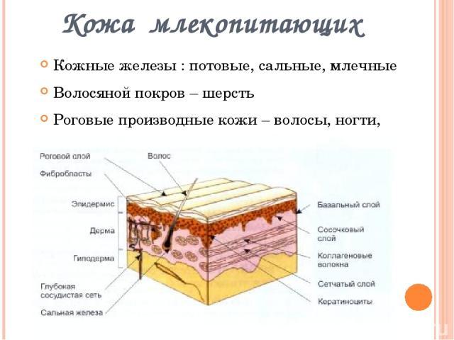 Кожа млекопитающих Кожные железы : потовые, сальные, млечные Волосяной покров – шерсть Роговые производные кожи – волосы, ногти, когти, рога, копыта