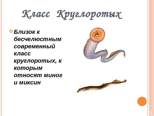 Класс Круглоротых Близок к бесчелюстным современный класс круглоротых, к которым относят миног и миксин