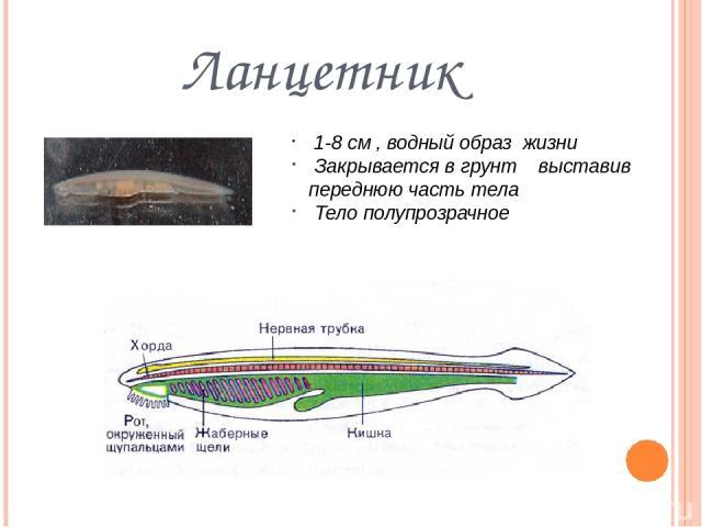 Ланцетник 1-8 см , водный образ жизни Закрывается в грунт выставив переднюю часть тела Тело полупрозрачное