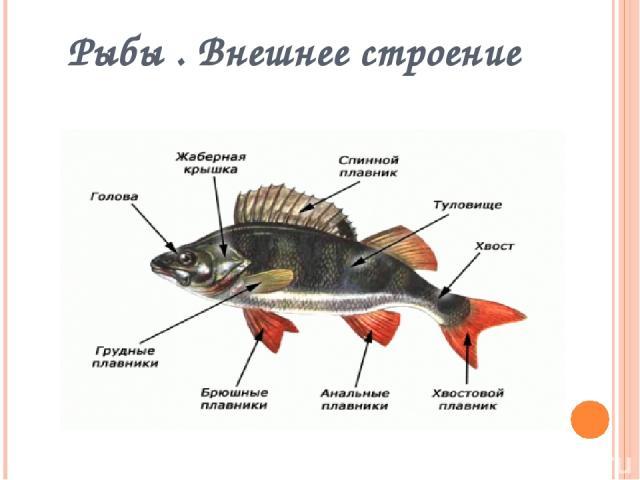 Рыбы . Внешнее строение