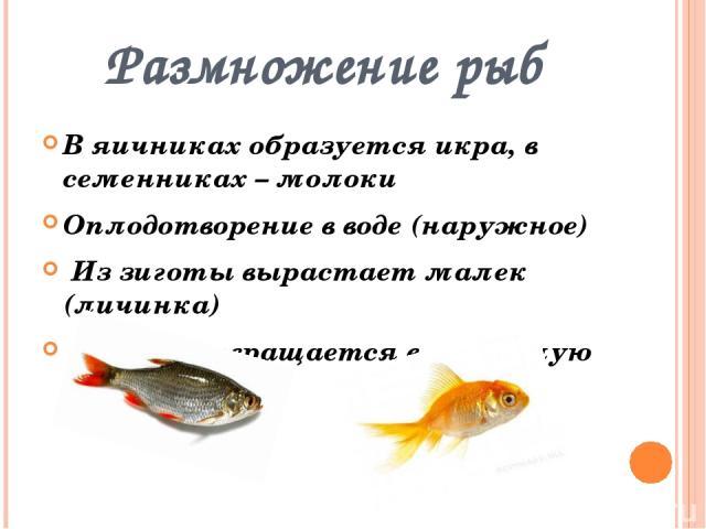 Размножение рыб В яичниках образуется икра, в семенниках – молоки Оплодотворение в воде (наружное) Из зиготы вырастает малек (личинка) Малек превращается в о взрослую особь
